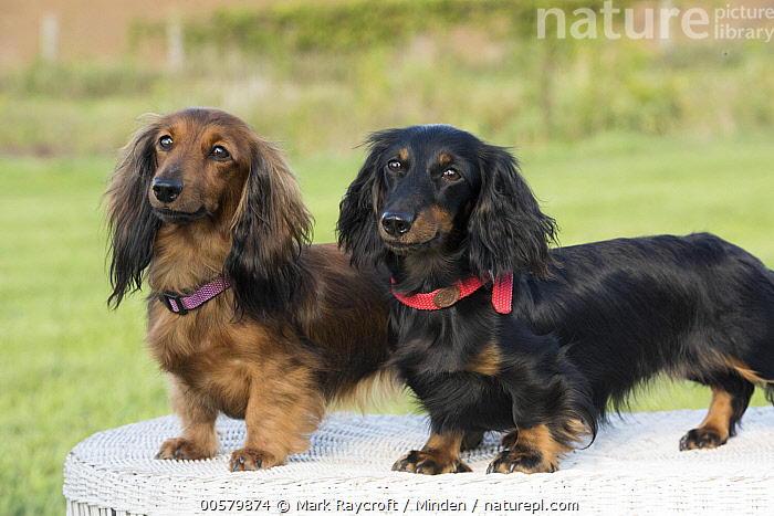 Miniature Long Haired Dachshund (Canis familiaris) pair, North America  ,  Adult, Canis familiaris, Color Image, Day, Domestic Dog, Full Length, Horizontal, Miniature Long Haired Dachshund, Nobody, North America, Outdoors, Photography, Side View, Three Quarter Length, Two Animals,Miniature Long Haired Dachshund,North America  ,  Mark Raycroft