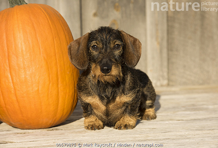 Miniature Wire-haired Dachshund (Canis familiaris), North America, Adult, Canis familiaris, Color Image, Day, Domestic Dog, Front View, Full Length, Horizontal, Looking at Camera, Miniature Wire-haired Dachshund, Nobody, North America, One Animal, Outdoors, Photography,Miniature Wire-haired Dachshund,North America, Mark Raycroft