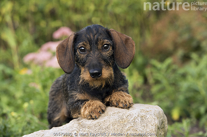 Miniature Wire-haired Dachshund (Canis familiaris), North America  ,  Adult, Canis familiaris, Color Image, Day, Domestic Dog, Front View, Full Length, Horizontal, Looking at Camera, Miniature Wire-haired Dachshund, Nobody, North America, One Animal, Outdoors, Photography,Miniature Wire-haired Dachshund,North America  ,  Mark Raycroft