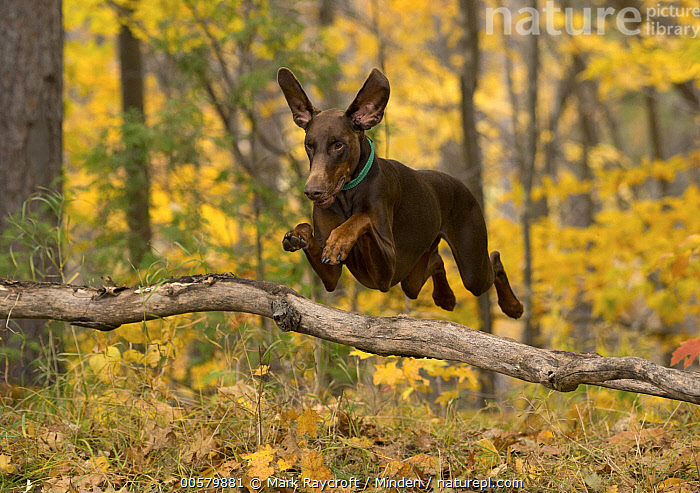 Doberman Pinscher (Canis familiaris) jumping, North America  ,  Adult, Canis familiaris, Color Image, Day, Doberman Pinscher, Domestic Dog, Full Length, Horizontal, Jumping, Nobody, North America, One Animal, Outdoors, Photography, Side View,Doberman Pinscher,North America  ,  Mark Raycroft