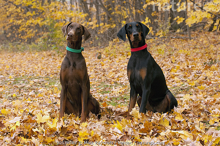Doberman Pinscher (Canis familiaris) pair with natural ears, North America, Adult, Canis familiaris, Color Image, Day, Doberman Pinscher, Domestic Dog, Front View, Full Length, Horizontal, Looking at Camera, Nobody, North America, Outdoors, Photography, Side View, Two Animals,Doberman Pinscher,North America, Mark Raycroft