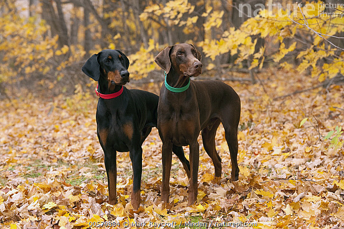 Doberman Pinscher (Canis familiaris) pair with natural ears, North America  ,  Adult, Canis familiaris, Color Image, Day, Doberman Pinscher, Domestic Dog, Front View, Full Length, Horizontal, Nobody, North America, Outdoors, Photography, Side View, Two Animals,Doberman Pinscher,North America  ,  Mark Raycroft