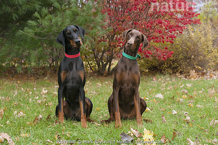 Doberman Pinscher (Canis familiaris) pair with natural ears, North America  ,  Adult, Canis familiaris, Color Image, Day, Doberman Pinscher, Domestic Dog, Front View, Full Length, Horizontal, Looking at Camera, Nobody, North America, Outdoors, Photography, Two Animals,Doberman Pinscher,North America  ,  Mark Raycroft