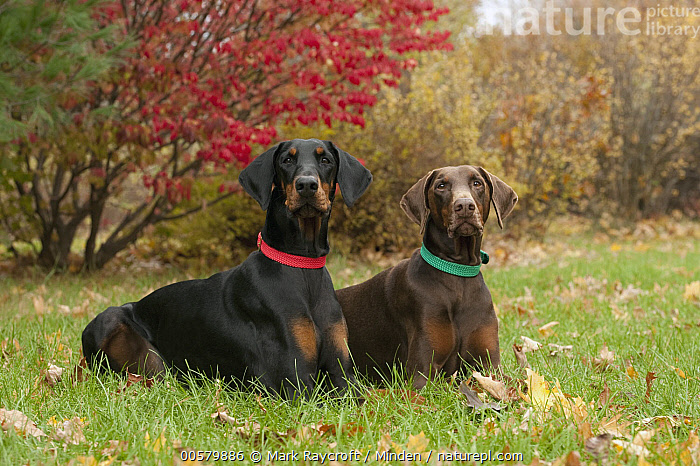 Doberman Pinscher (Canis familiaris) pair with clipped ears, North America, Adult, Canis familiaris, Color Image, Day, Doberman Pinscher, Domestic Dog, Full Length, Horizontal, Looking at Camera, Nobody, North America, Outdoors, Photography, Side View, Two Animals,Doberman Pinscher,North America, Mark Raycroft