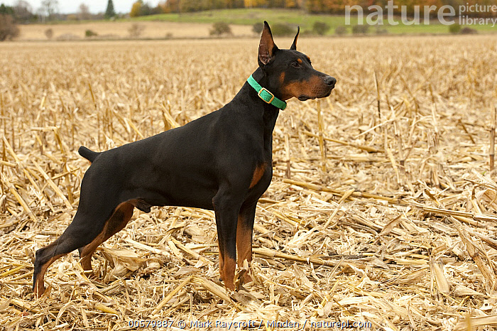 Doberman Pinscher (Canis familiaris), North America, Adult, Canis familiaris, Color Image, Day, Doberman Pinscher, Domestic Dog, Full Length, Horizontal, Nobody, North America, One Animal, Outdoors, Photography, Side View,Doberman Pinscher,North America, Mark Raycroft