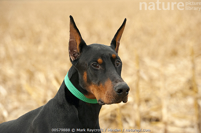 Doberman Pinscher (Canis familiaris)with clipped ears, North America, Adult, Canis familiaris, Color Image, Day, Doberman Pinscher, Domestic Dog, Head and Shoulders, Horizontal, Nobody, North America, One Animal, Outdoors, Photography, Portrait, Profile, Side View,Doberman Pinscher,North America, Mark Raycroft