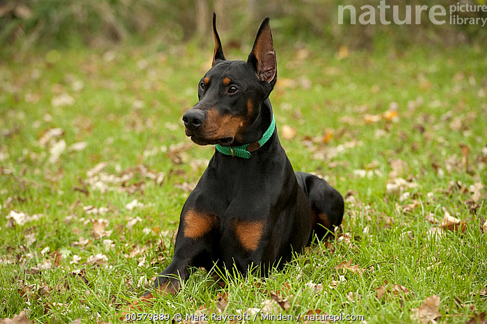 Doberman Pinscher (Canis familiaris)with clipped ears, North America  ,  Adult, Canis familiaris, Color Image, Day, Doberman Pinscher, Domestic Dog, Front View, Full Length, Horizontal, Nobody, North America, One Animal, Outdoors, Photography,Doberman Pinscher,North America  ,  Mark Raycroft