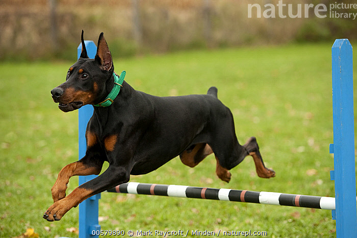 Doberman Pinscher (Canis familiaris) with clipped ears jumping, North America  ,  Adult, Canis familiaris, Color Image, Day, Doberman Pinscher, Domestic Dog, Full Length, Horizontal, Jumping, Nobody, North America, One Animal, Outdoors, Photography, Side View,Doberman Pinscher,North America  ,  Mark Raycroft