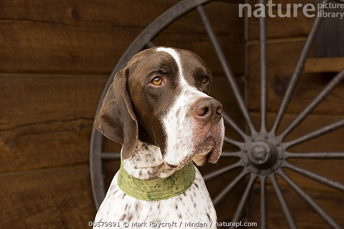 Pointer (Canis familiaris) male, North America, Adult, Canis familiaris, Close Up, Color Image, Day, Domestic Dog, Front View, Head and Shoulders, Horizontal, Male, Nobody, North America, One Animal, Outdoors, Photography, Pointer, Portrait, Profile,Pointer,North America, Mark Raycroft