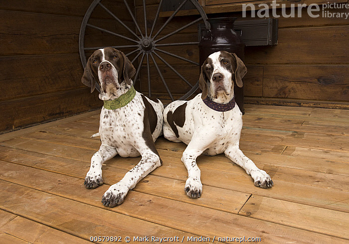 Pointer (Canis familiaris) pair, North America, Adult, Canis familiaris, Color Image, Day, Domestic Dog, Front View, Full Length, Horizontal, Looking at Camera, Nobody, North America, Outdoors, Photography, Pointer, Two Animals,Pointer,North America, Mark Raycroft