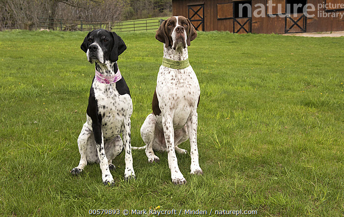 Pointer (Canis familiaris) pair, North America  ,  Adult, Canis familiaris, Color Image, Day, Difference, Domestic Dog, Front View, Full Length, Horizontal, Nobody, North America, Outdoors, Photography, Pointer, Two Animals,Pointer,North America  ,  Mark Raycroft