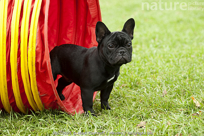 French Bulldog (Canis familiaris) puppy in agility tunnel, North America, Baby, Black, Bull, Canis familiaris, Color Image, Day, Domestic Dog, French Bulldog, Full Length, Horizontal, Male, Nobody, North America, One Animal, Outdoors, Photography, Puppy, Side View,French Bulldog,North America, Mark Raycroft