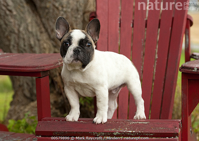 French Bulldog (Canis familiaris) puppy, North America  ,  Baby, Bull, Canis familiaris, Color Image, Day, Domestic Dog, French Bulldog, Full Length, Horizontal, Looking at Camera, Male, Nobody, North America, One Animal, Outdoors, Photography, Puppy, Side View,French Bulldog,North America  ,  Mark Raycroft
