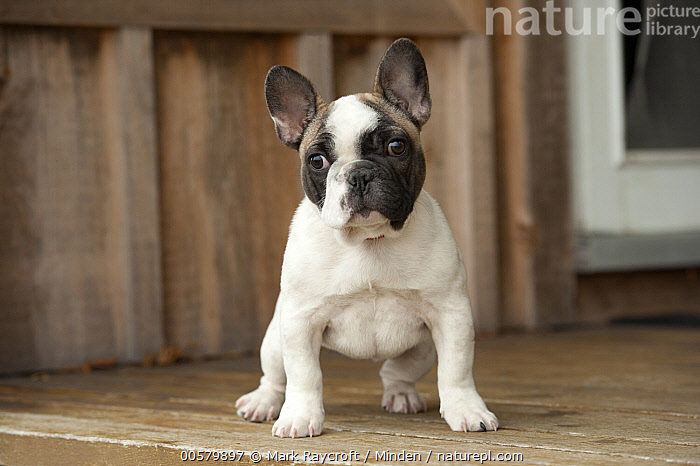 French Bulldog (Canis familiaris) puppy, North America  ,  Baby, Bull, Canis familiaris, Color Image, Day, Domestic Dog, French Bulldog, Front View, Full Length, Horizontal, Looking at Camera, Male, Nobody, North America, One Animal, Outdoors, Photography, Puppy,French Bulldog,North America  ,  Mark Raycroft