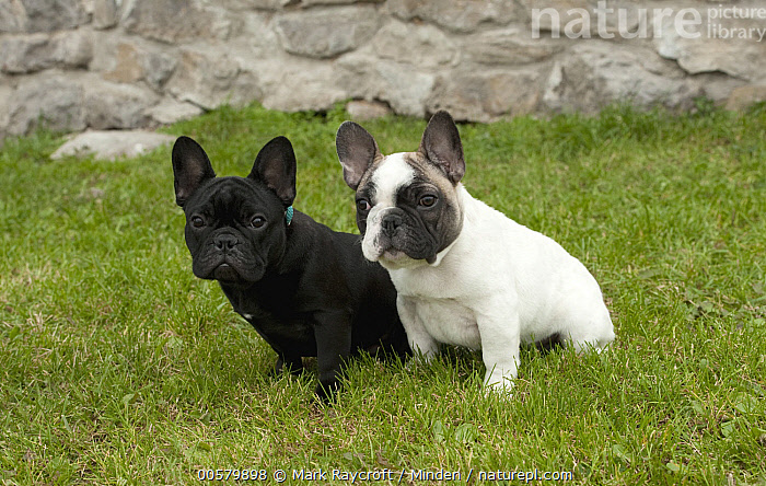French Bulldog (Canis familiaris) puppies, North America, Baby, Bull, Canis familiaris, Color Image, Day, Difference, Domestic Dog, French Bulldog, Full Length, Horizontal, Male, Nobody, North America, Outdoors, Photography, Puppy, Side View, Two Animals,French Bulldog,North America, Mark Raycroft