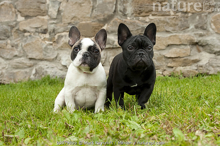French Bulldog (Canis familiaris) puppies, North America, Baby, Bull, Canis familiaris, Color Image, Day, Difference, Domestic Dog, French Bulldog, Front View, Full Length, Horizontal, Looking at Camera, Male, Nobody, North America, Outdoors, Photography, Puppy, Two Animals,French Bulldog,North America, Mark Raycroft