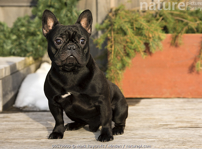 French Bulldog (Canis familiaris) in winter, North America  ,  Adult, Black, Bull, Canis familiaris, Color Image, Day, Domestic Dog, French Bulldog, Front View, Full Length, Horizontal, Looking at Camera, Male, Nobody, North America, One Animal, Outdoors, Photography, Winter,French Bulldog,North America  ,  Mark Raycroft