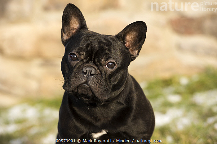 French Bulldog (Canis familiaris) in winter, North America, Adult, Black, Bull, Canis familiaris, Color Image, Day, Domestic Dog, French Bulldog, Front View, Head and Shoulders, Horizontal, Looking at Camera, Male, Nobody, North America, One Animal, Outdoors, Photography, Portrait, Winter,French Bulldog,North America, Mark Raycroft