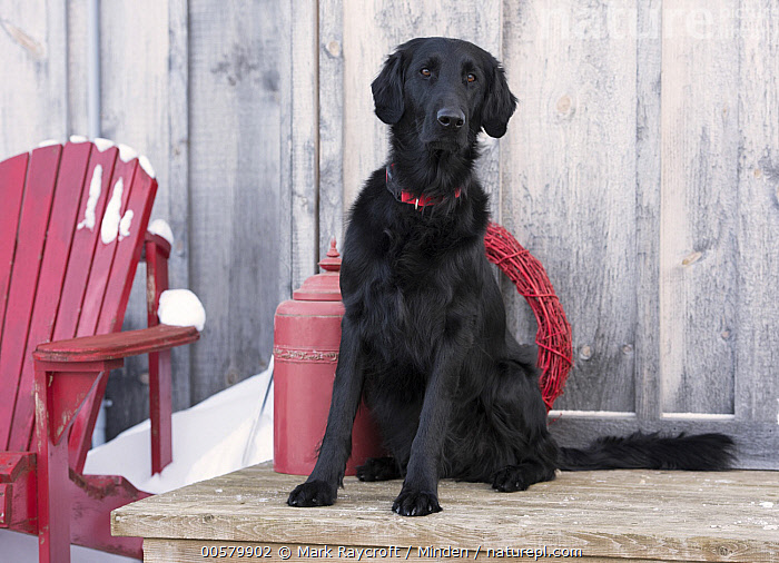Flat-coated Retriever (Canis familiaris) in winter, North America  ,  Adult, Black, Canis familiaris, Color Image, Day, Domestic Dog, Flat-coated Retriever, Front View, Full Length, Horizontal, Nobody, North America, One Animal, Outdoors, Photography, Winter,Flat-coated Retriever,North America  ,  Mark Raycroft