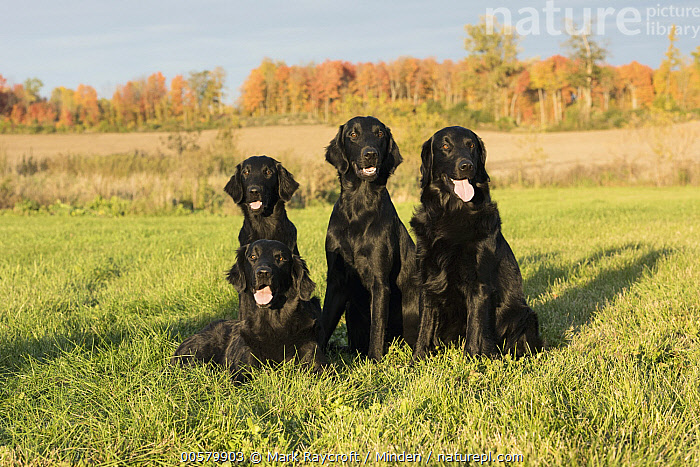 Flat-coated Retriever (Canis familiaris) group, North America, Adult, Black, Canis familiaris, Color Image, Day, Domestic Dog, Flat-coated Retriever, Four Animals, Front View, Full Length, Horizontal, Nobody, North America, Outdoors, Photography,Flat-coated Retriever,North America, Mark Raycroft