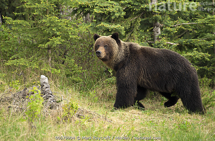 Grizzly Bear (Ursus arctos horribilis), North America  ,  Adult, Color Image, Day, Full Length, Grizzly Bear, Horizontal, Looking at Camera, Nobody, North America, One Animal, Outdoors, Photography, Side View, Ursus arctos horribilis, Wildlife,Grizzly Bear,North America  ,  Mark Raycroft