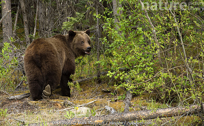 Grizzly Bear (Ursus arctos horribilis), North America  ,  Adult, Color Image, Day, Full Length, Grizzly Bear, Horizontal, Looking at Camera, Looking Back, Nobody, North America, One Animal, Outdoors, Photography, Rear View, Ursus arctos horribilis, Wildlife,Grizzly Bear,North America  ,  Mark Raycroft