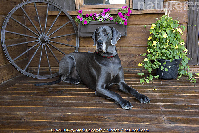 Great Dane (Canis familiaris) male, North America  ,  Adult, Canis familiaris, Color Image, Day, Domestic Dog, Full Length, Gray, Great Dane, Horizontal, Male, Nobody, North America, One Animal, Outdoors, Photography, Side View,Great Dane,North America  ,  Mark Raycroft
