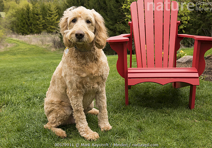 Goldendoodle (Canis familiaris), North America, Adult, Canis familiaris, Color Image, Day, Domestic Dog, Full Length, Goldendoodle, Horizontal, Looking at Camera, Nobody, North America, One Animal, Outdoors, Photography, Side View,Goldendoodle,North America, Mark Raycroft