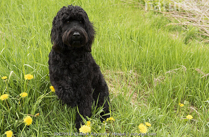 Goldendoodle (Canis familiaris), North America, Adult, Black, Canis familiaris, Color Image, Day, Domestic Dog, Front View, Full Length, Goldendoodle, Horizontal, Nobody, North America, One Animal, Outdoors, Photography,Goldendoodle,North America, Mark Raycroft