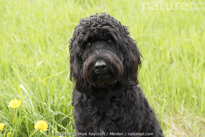 Goldendoodle (Canis familiaris), North America  ,  Adult, Black, Canis familiaris, Close Up, Color Image, Day, Domestic Dog, Front View, Goldendoodle, Horizontal, Looking at Camera, Nobody, North America, One Animal, Outdoors, Photography, Waist Up,Goldendoodle,North America  ,  Mark Raycroft