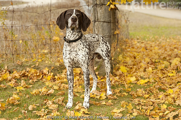 German Shorthaired Pointer (Canis familiaris), North America, Adult, Canis familiaris, Color Image, Day, Domestic Dog, Front View, Full Length, German Shorthaired Pointer, Horizontal, Looking at Camera, Nobody, North America, One Animal, Outdoors, Photography,German Shorthaired Pointer,North America, Mark Raycroft