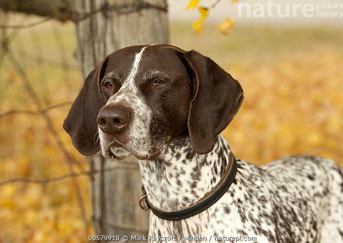 German Shorthaired Pointer (Canis familiaris), North America  ,  Adult, Canis familiaris, Color Image, Day, Domestic Dog, German Shorthaired Pointer, Horizontal, Nobody, North America, One Animal, Outdoors, Photography, Side View, Waist Up,German Shorthaired Pointer,North America  ,  Mark Raycroft