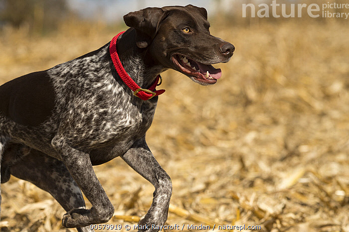 German Shorthaired Pointer (Canis familiaris) running, North America, Adult, Canis familiaris, Color Image, Day, Domestic Dog, German Shorthaired Pointer, Horizontal, Nobody, North America, One Animal, Outdoors, Photography, Running, Side View, Waist Up,German Shorthaired Pointer,North America, Mark Raycroft