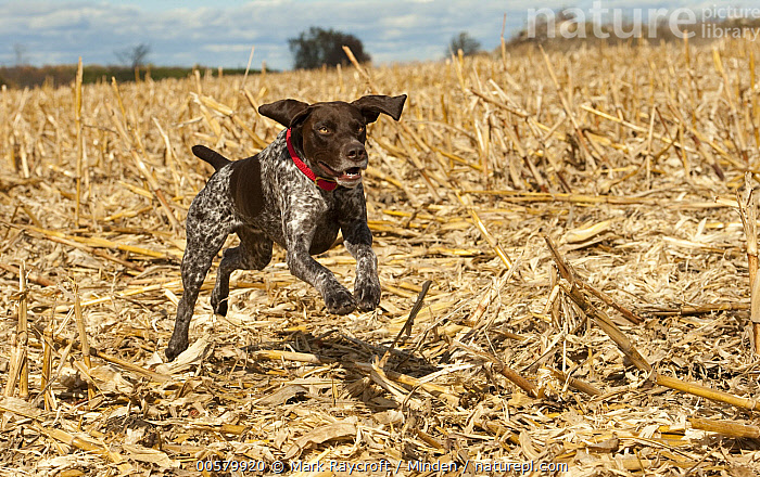 German Shorthaired Pointer (Canis familiaris) running, North America, Adult, Canis familiaris, Color Image, Day, Domestic Dog, Full Length, German Shorthaired Pointer, Horizontal, Nobody, North America, One Animal, Outdoors, Photography, Running, Side View,German Shorthaired Pointer,North America, Mark Raycroft