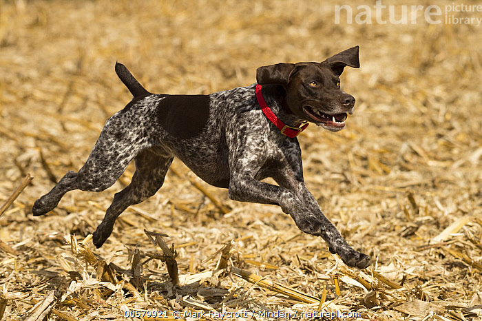 German Shorthaired Pointer (Canis familiaris) running, North America  ,  Adult, Canis familiaris, Color Image, Day, Domestic Dog, Full Length, German Shorthaired Pointer, Horizontal, Nobody, North America, One Animal, Outdoors, Photography, Running, Side View,German Shorthaired Pointer,North America  ,  Mark Raycroft
