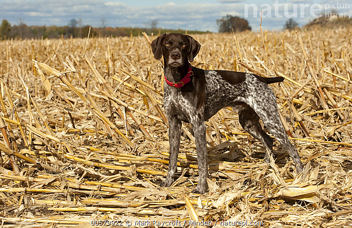 German Shorthaired Pointer (Canis familiaris), North America, Adult, Canis familiaris, Color Image, Day, Domestic Dog, Full Length, German Shorthaired Pointer, Horizontal, Looking at Camera, Nobody, North America, One Animal, Outdoors, Photography, Side View,German Shorthaired Pointer,North America, Mark Raycroft