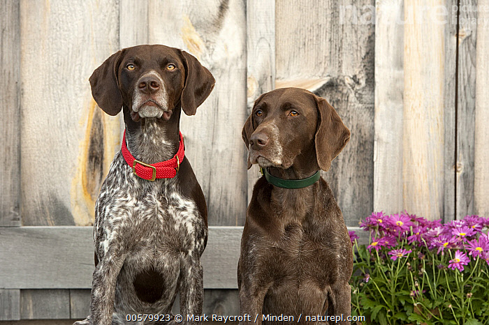 German Shorthaired Pointer (Canis familiaris) pair, North America  ,  Adult, Canis familiaris, Color Image, Day, Difference, Domestic Dog, Front View, German Shorthaired Pointer, Horizontal, Looking at Camera, Nobody, North America, Outdoors, Photography, Three Quarter Length, Two Animals, Waist Up,German Shorthaired Pointer,North America  ,  Mark Raycroft
