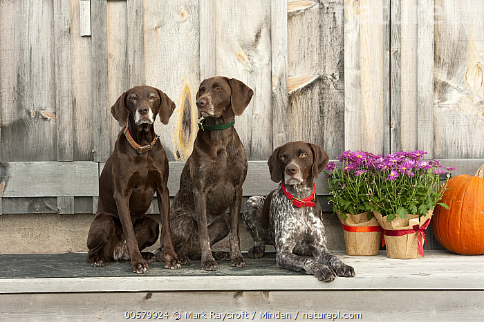 German Shorthaired Pointer (Canis familiaris) trio, North America  ,  Adult, Canis familiaris, Color Image, Day, Difference, Domestic Dog, Front View, Full Length, German Shorthaired Pointer, Horizontal, Looking at Camera, Nobody, North America, Outdoors, Photography, Three Animals,German Shorthaired Pointer,North America  ,  Mark Raycroft
