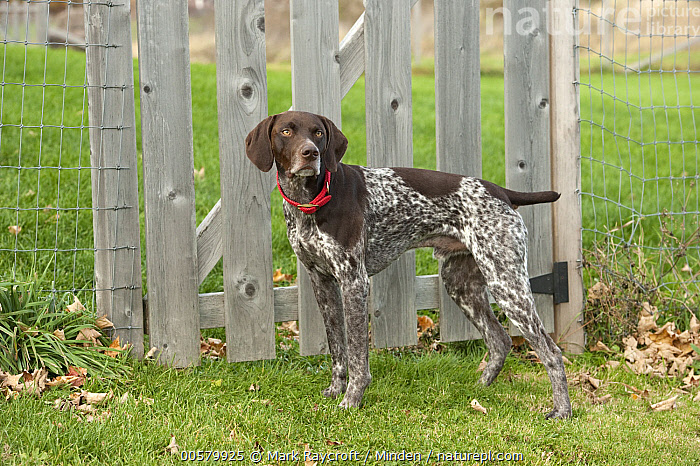 German Shorthaired Pointer (Canis familiaris), North America, Adult, Canis familiaris, Color Image, Day, Domestic Dog, Full Length, German Shorthaired Pointer, Horizontal, Nobody, North America, One Animal, Outdoors, Photography, Side View,German Shorthaired Pointer,North America, Mark Raycroft