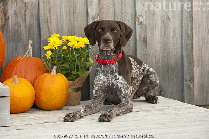 German Shorthaired Pointer (Canis familiaris), North America  ,  Adult, Canis familiaris, Color Image, Day, Domestic Dog, Full Length, German Shorthaired Pointer, Horizontal, Looking at Camera, Nobody, North America, One Animal, Outdoors, Photography, Side View,German Shorthaired Pointer,North America  ,  Mark Raycroft