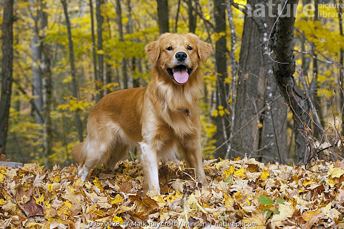 Golden Retriever (Canis familiaris), North America  ,  Adult, Canis familiaris, Color Image, Day, Domestic Dog, Full Length, Golden Retriever, Horizontal, Looking at Camera, Nobody, North America, One Animal, Outdoors, Panting, Photography, Side View,Golden Retriever,North America  ,  Mark Raycroft
