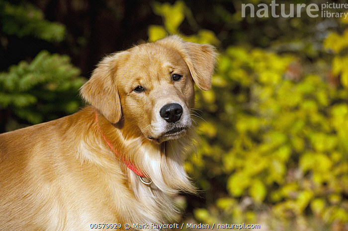 Golden Retriever (Canis familiaris), North America  ,  Adult, Canis familiaris, Color Image, Day, Domestic Dog, Golden Retriever, Horizontal, Looking at Camera, Nobody, North America, One Animal, Outdoors, Photography, Side View, Waist Up,Golden Retriever,North America  ,  Mark Raycroft