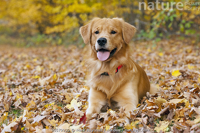 Golden Retriever (Canis familiaris), North America, Adult, Canis familiaris, Color Image, Day, Domestic Dog, Front View, Full Length, Golden Retriever, Horizontal, Nobody, North America, One Animal, Outdoors, Panting, Photography,Golden Retriever,North America, Mark Raycroft