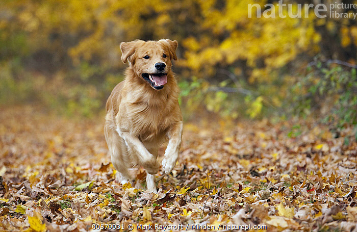 Golden Retriever (Canis familiaris) running, North America, Adult, Canis familiaris, Color Image, Day, Domestic Dog, Front View, Full Length, Golden Retriever, Horizontal, Nobody, North America, One Animal, Outdoors, Photography, Running,Golden Retriever,North America, Mark Raycroft