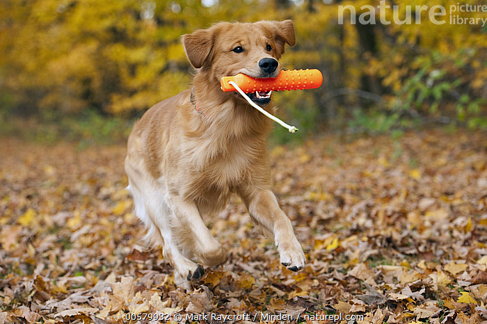 Golden Retriever (Canis familiaris) playing, North America  ,  Adult, Canis familiaris, Carrying, Color Image, Day, Domestic Dog, Fetching, Full Length, Golden Retriever, Horizontal, Nobody, North America, One Animal, Outdoors, Photography, Playing, Running, Side View,Golden Retriever,North America  ,  Mark Raycroft