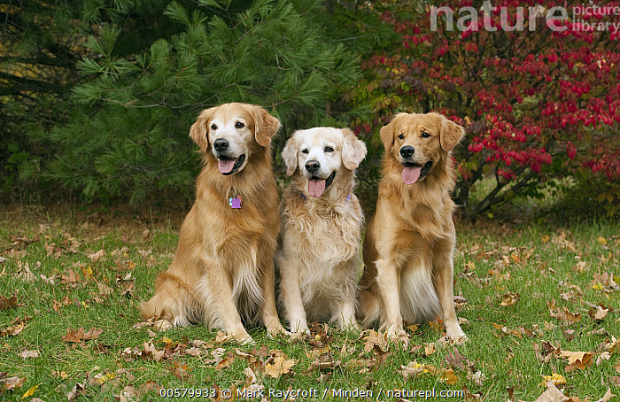 Golden Retriever (Canis familiaris) males, North America  ,  Adult, Canis familiaris, Color Image, Day, Difference, Domestic Dog, Front View, Full Length, Golden Retriever, Horizontal, Male, Nobody, North America, Outdoors, Photography, Three Animals,Golden Retriever,North America  ,  Mark Raycroft