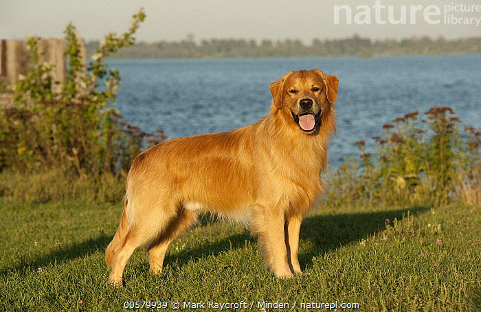 Golden Retriever (Canis familiaris) male, North America, Adult, Canis familiaris, Color Image, Day, Domestic Dog, Full Length, Golden Retriever, Horizontal, Looking at Camera, Male, Nobody, North America, One Animal, Open Mouth, Outdoors, Panting, Photography, Side View,Golden Retriever,North America, Mark Raycroft