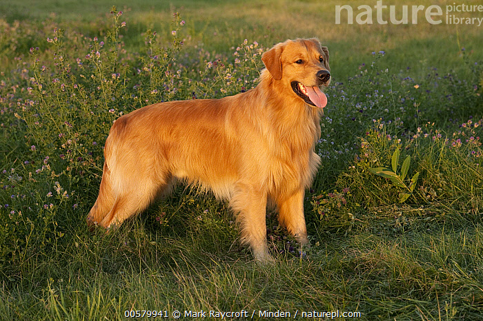 Golden Retriever (Canis familiaris) male, North America  ,  Adult, Canis familiaris, Color Image, Day, Domestic Dog, Full Length, Golden Retriever, Horizontal, Male, Nobody, North America, One Animal, Open Mouth, Outdoors, Panting, Photography, Side View,Golden Retriever,North America  ,  Mark Raycroft