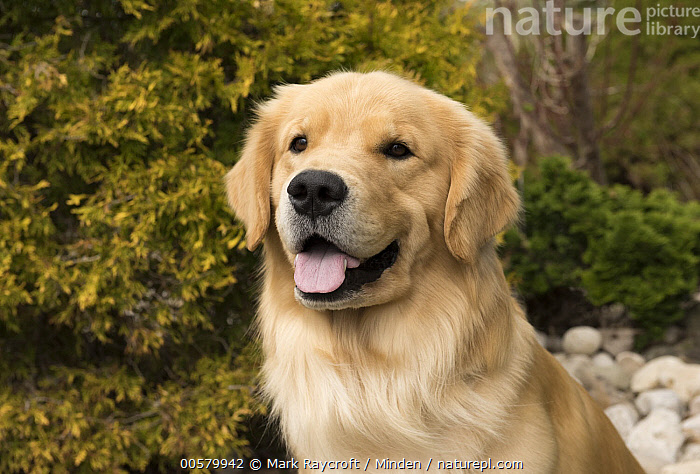 Golden Retriever (Canis familiaris), North America  ,  Adult, Canis familiaris, Close Up, Color Image, Day, Domestic Dog, Front View, Golden Retriever, Head and Shoulders, Horizontal, Nobody, North America, One Animal, Open Mouth, Outdoors, Photography, Portrait,Golden Retriever,North America  ,  Mark Raycroft