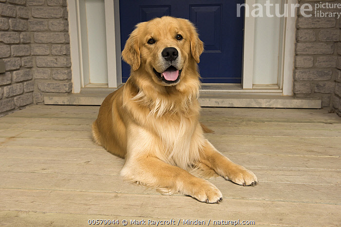 Golden Retriever (Canis familiaris), North America, Adult, Canis familiaris, Color Image, Day, Domestic Dog, Front View, Full Length, Golden Retriever, Horizontal, Looking at Camera, Nobody, North America, One Animal, Open Mouth, Outdoors, Photography,Golden Retriever,North America, Mark Raycroft